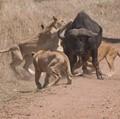 Lions Versus Buffalo