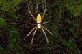 The Golden Silk Orbweaver