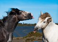 A Stallion and a Gelding were supposed to spar in this photo shoot, but obviously sticking out tongues was the preferred method of sparring