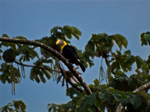 Chestnut_Mandibled_Toucan_by_HappySack