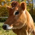 Cowlick Cow