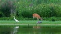 Doe and Herons