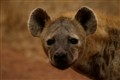 Hyena at Kruger