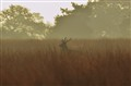 Lonely young deer buck on foggy morning...