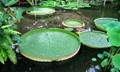 Very Flat, Very Large Waterlily Pads