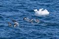 Gentoo Penguins seen next to Orne Island