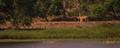 Tigress Sita,on her morning prowl,Tadoba Lake region,Tadoba National park,India