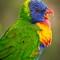 Grass Parrot-1