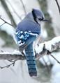 Wintering Blue Jay