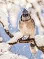Today Flurries, Tomorrow Snow