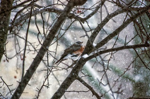 Robin in Blizzard