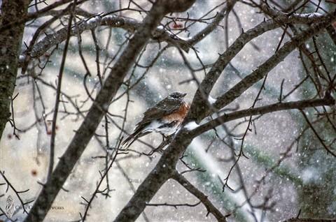 Robin in Blizzard