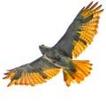 Red Tail Hawk in flight