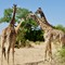 Gfor giraffe
