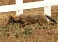 Coyote Running