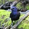 Brewer's Blackbird in the Bronx