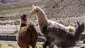 Lamas in the Altiplano of Bolivia
