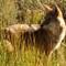 Coyote, near Gunnison