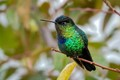 A colorful hummingbird endemic to mountainous regions in Costa Rica and Panama