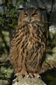 the mighty Uhu owl