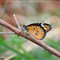Orange-White Butterfly