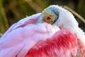roseate spoonbill huddling