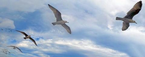Gulls_111-463_473_12-9-16