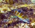 Ornate Wrasse - female (Thalassaoma pava).