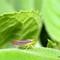 Candy Stripe Leafhopper