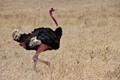 Male Ostrich strutting his stuff - Ngorongoro Crater - Tanzania.