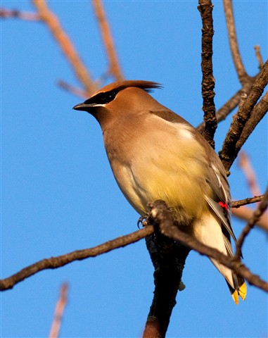 waxwing 1 sm