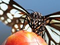 Butterfly on a Mango