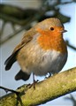 Clumber Park Robin