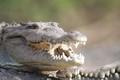 Croc on Tarcoles Costa Rica