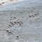 Sanderlings 04