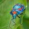 20200611 Harlequin beetle PLRG0989 vert