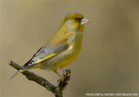 greenfinch-d5200-ok