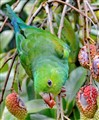 The parakeet and the lychee tree