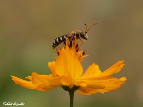 Sapygidae Wasp