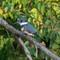 Belted Kingfisher Lake Lenexa    10 08 2015    001