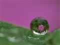 Red Campion Wild Flower seen through a water droplet.