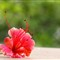 Hibiscus on the Window Sill