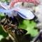 Bee & borago officinalis