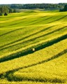 Walking in the fields of gold
