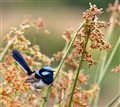 Suberb blue fairywren