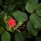 Rose bud_AJG_HRDSC_04