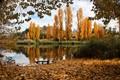 Yellow poplars