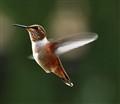 Resident Hummingbird