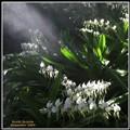 Sunlit Orchids