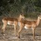 Two Male Impala
